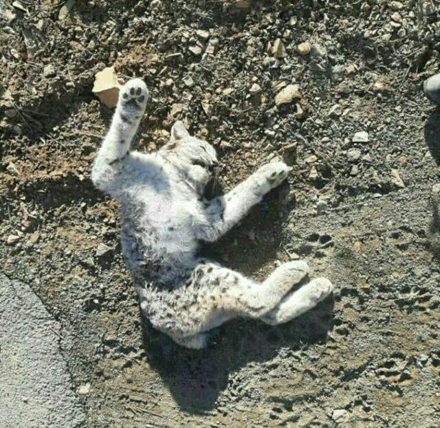 تلف شدن یک گونه نادر از گربه سانان در تصادف جاده ای